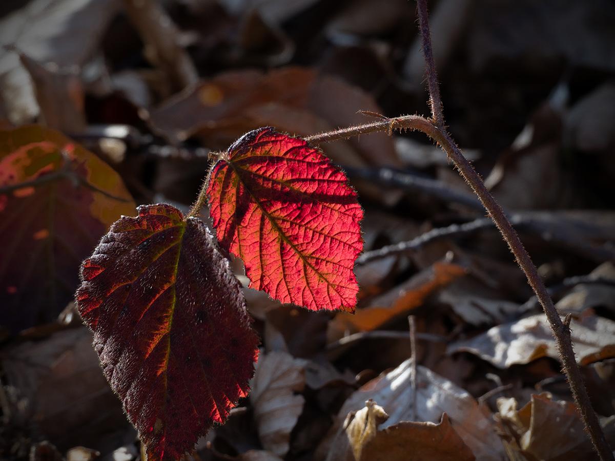 Crveno lišće